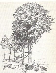 A kisaszondi Csokonai-bükkfa 1912-ben. A hagyomány szerint alatta írta Csokonai  A magányossághoz című versét